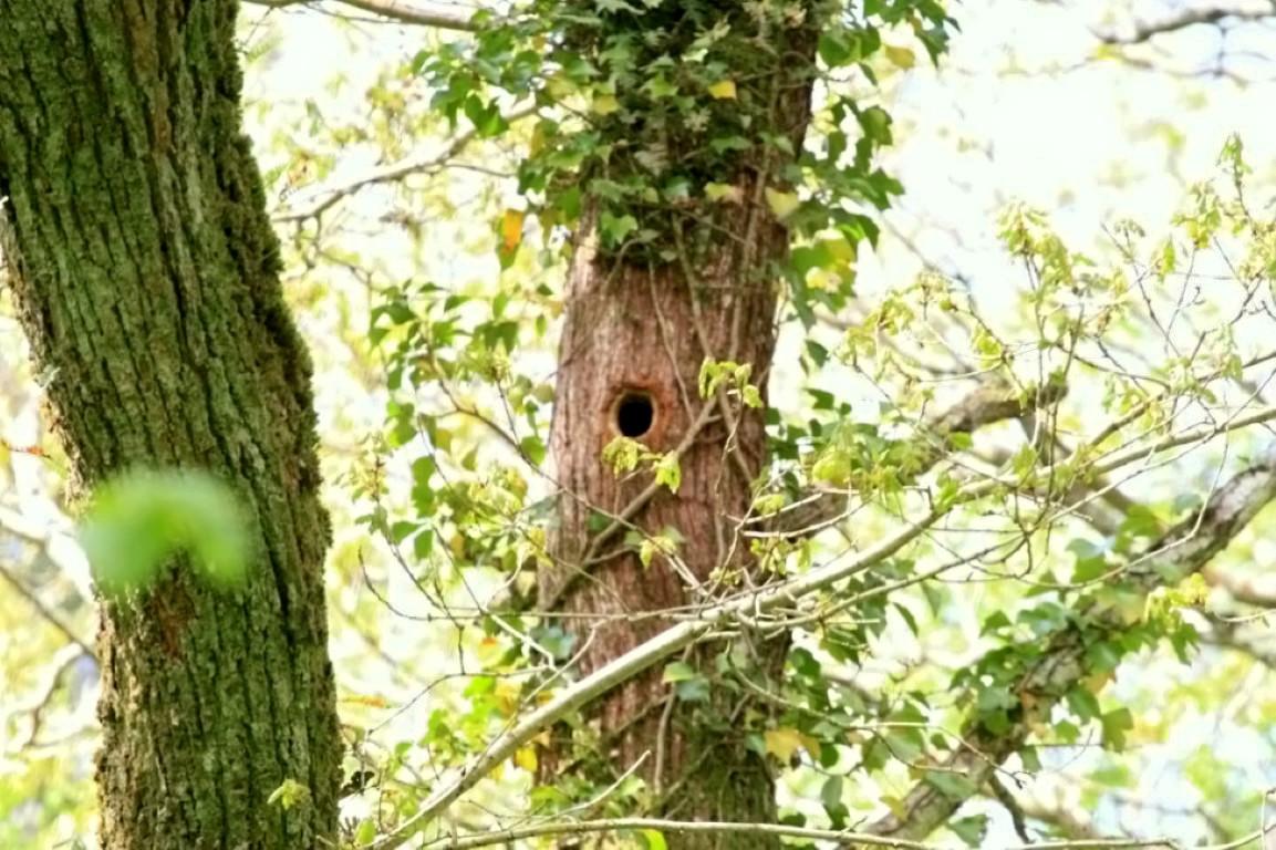 Woodpecker Nest. Tomnafinnoge Wood