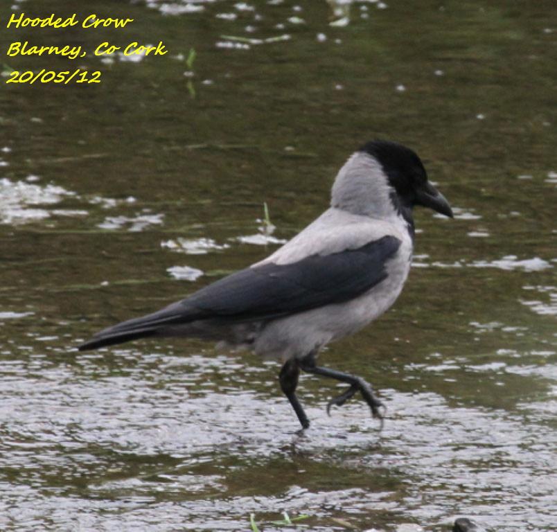 Hooded Crow 2