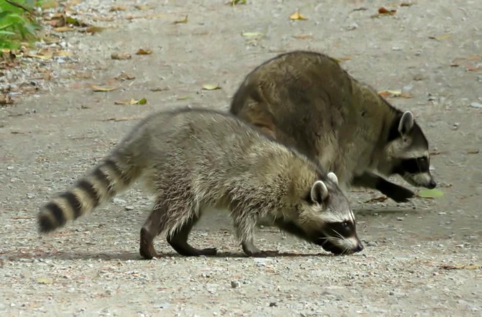 Raccoon (3)