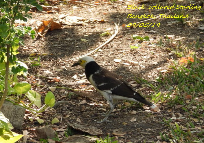 Black-collared Starling 3