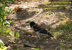 Black-collared Starling 3
