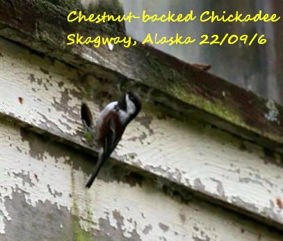 Chestnut-backed Chickadee 1