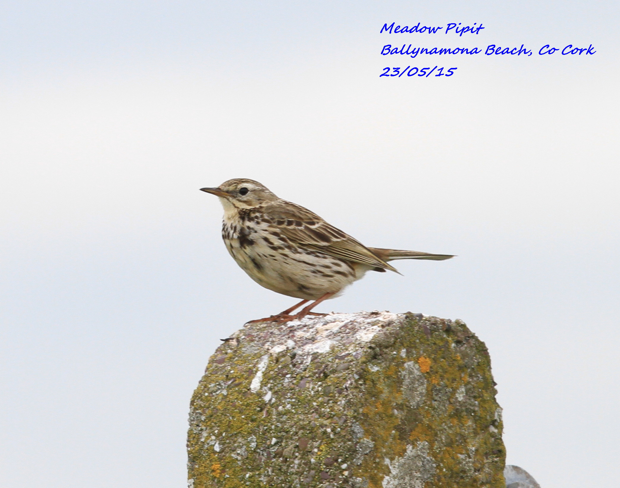 Meadow Pipit 4