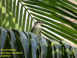 Grey Kingbird 3