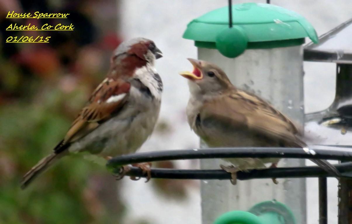 House Sparrow 5