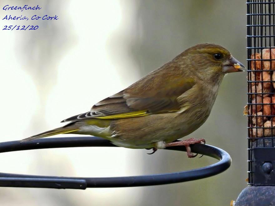 Greenfinch 8
