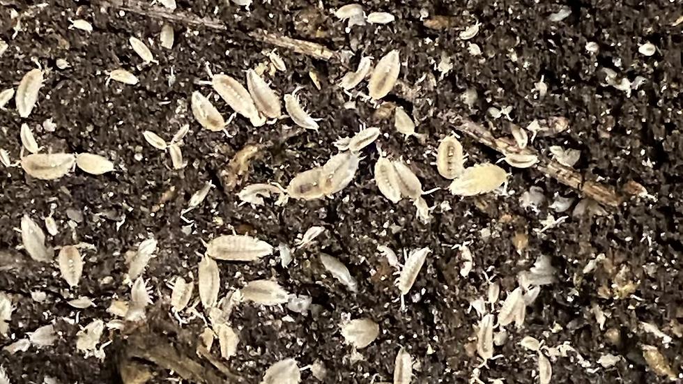 20 Dwarf  White  'Trichorhina tomentosa'