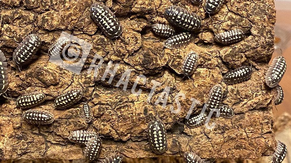 10 White spotted armadillidium Gestroi