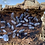 Thumbnail: 10+ Armadillidium Corcyraeum