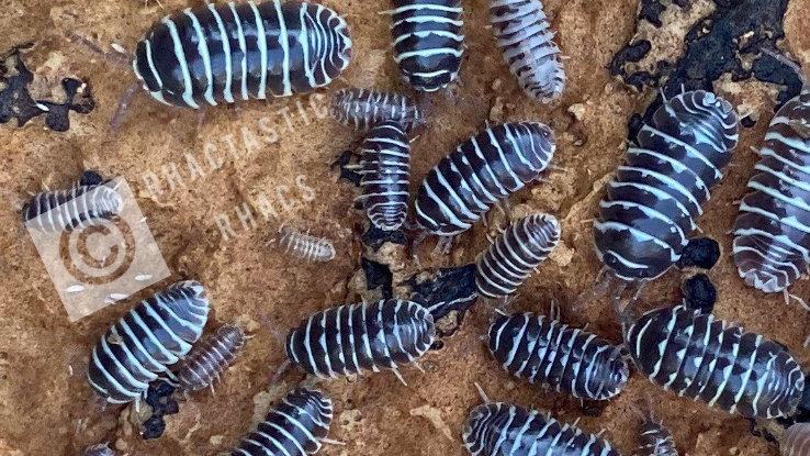 10 Armadillidium Maculatum 'Zebra'