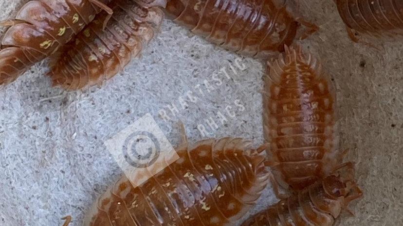 Oniscus asellus 'BC Maple'