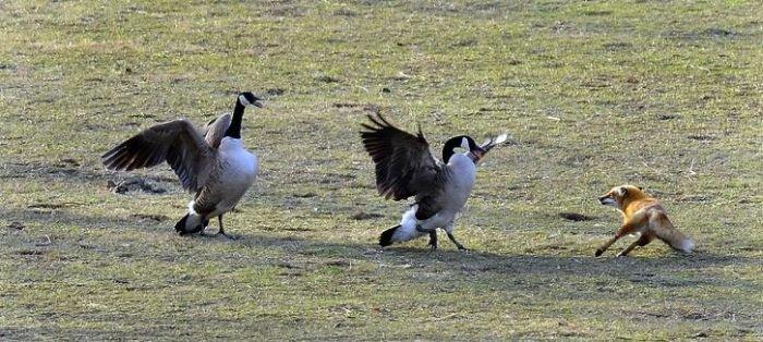 1268252920_goose-vs-fox-04.jpg