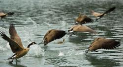 flight-geese-lake-966474-o.jpg