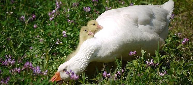 гуси белые