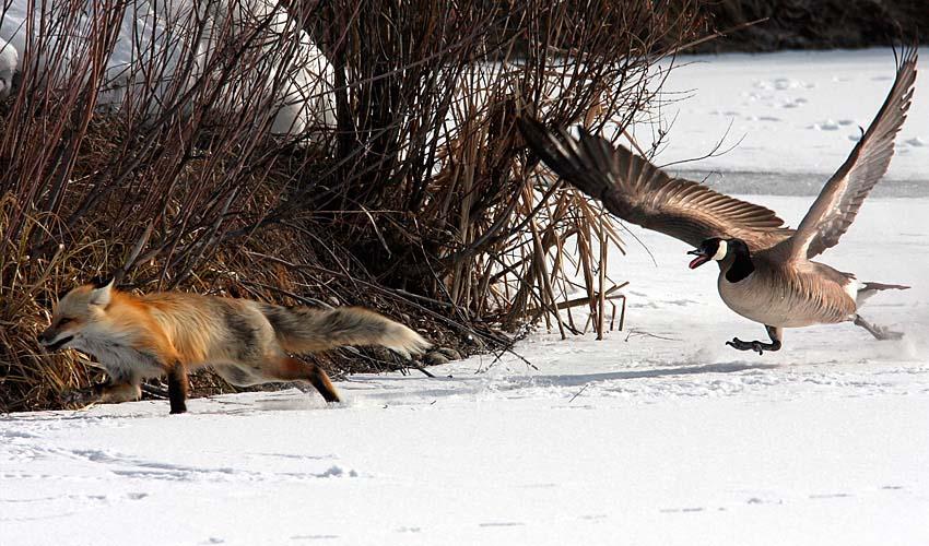 fox_and_goose_01.jpg