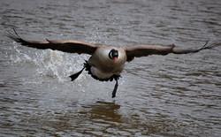 goose-geese-bird-1998984-o.jpg