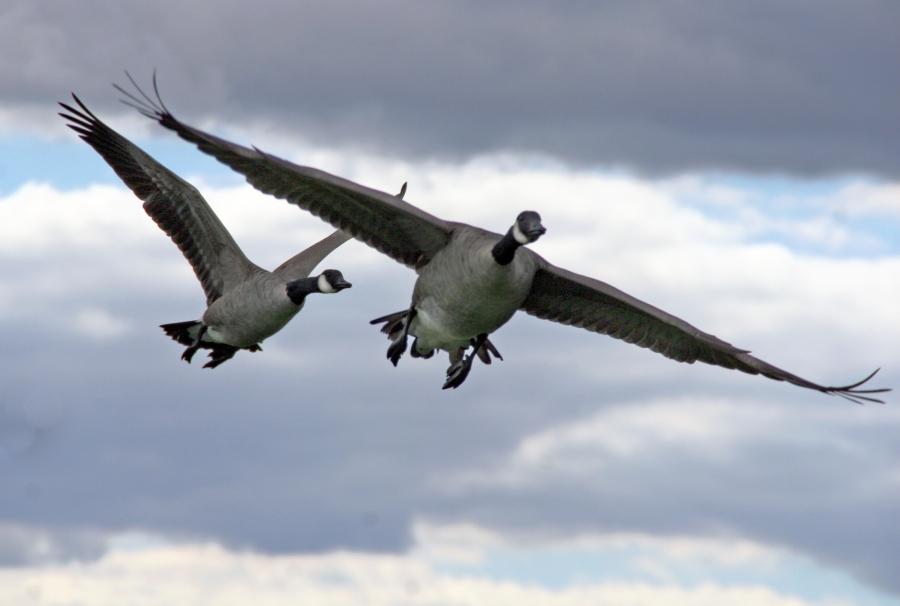 concordma-geese-waterfowl-472235-h.jpg
