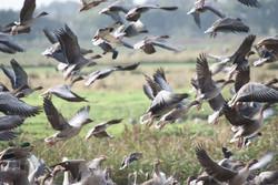 geese-pinkfooted-greylag-3662211-h.jpg