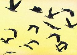 birds-geese-wisconsin-1579140-l.jpg