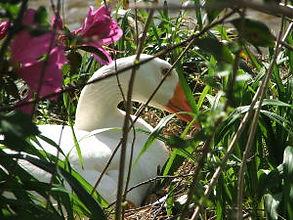 гусыня на гнезде