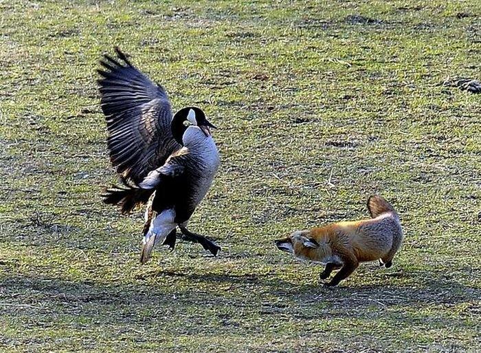 1268252936_goose-vs-fox-01.jpg