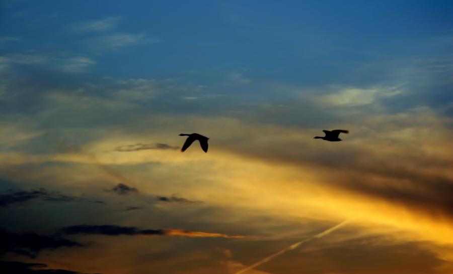 geese_sunset_dekalbil_536878_h.jpg