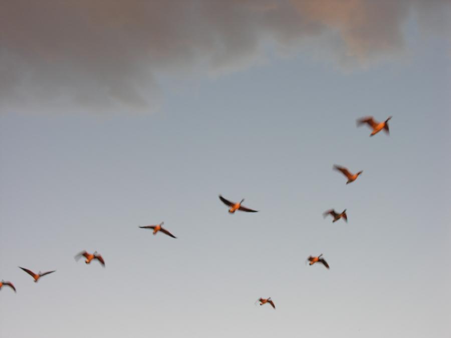 colorado_geese_bird_799856_h.jpg