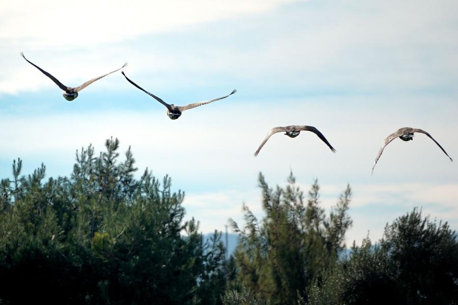 bird-goose-sunnyvale-216180-h.jpg