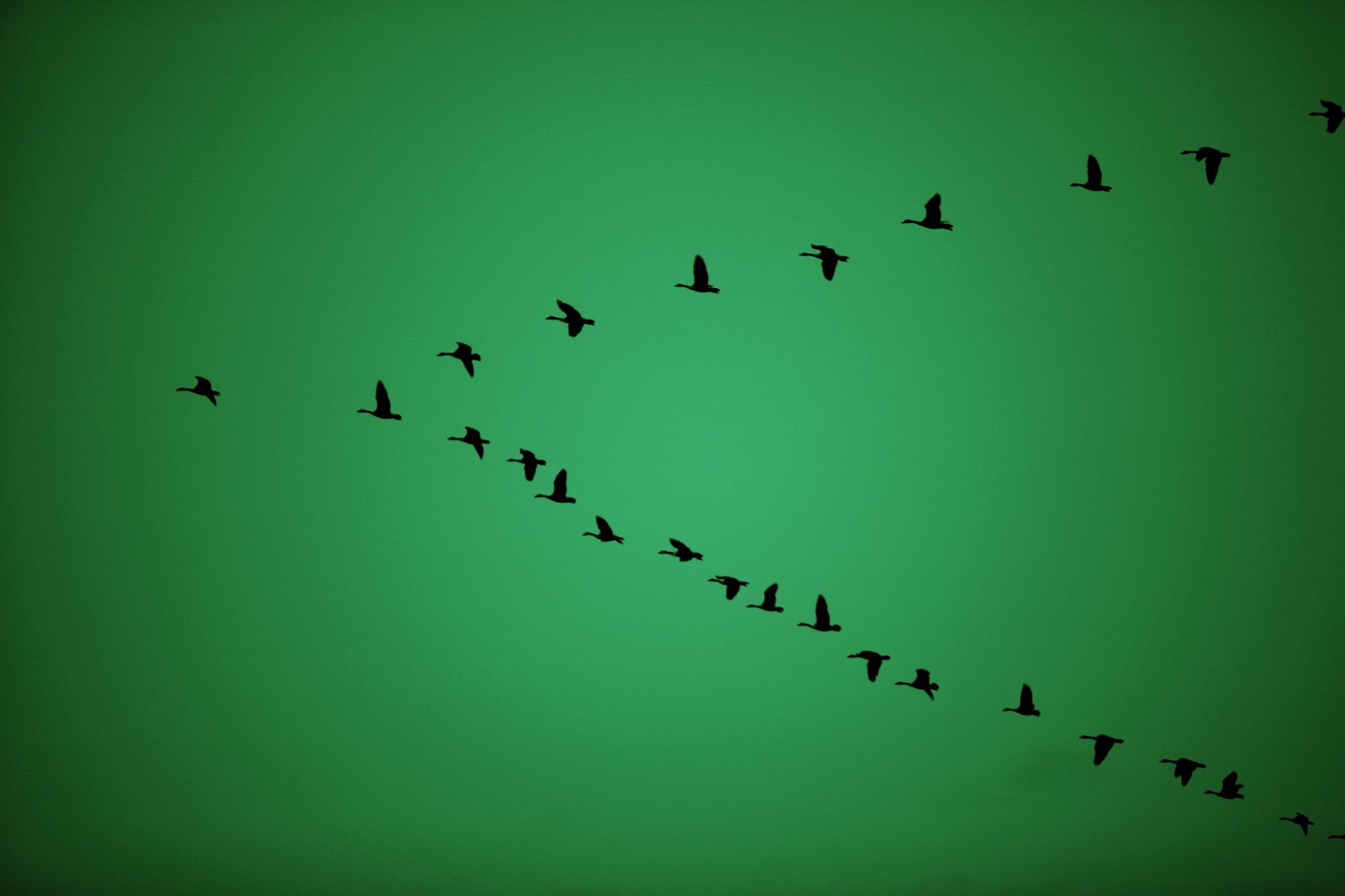 bird-birds-geese-1272966-o.jpg