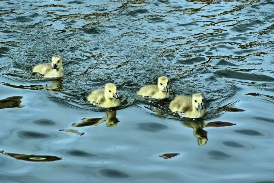 geese-babygeese-water-1310015-h.jpg