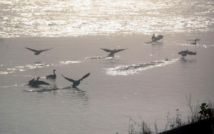 geese-bird-morning-44430-h.jpg