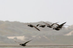 brant-geese-goose-96490-o.jpg