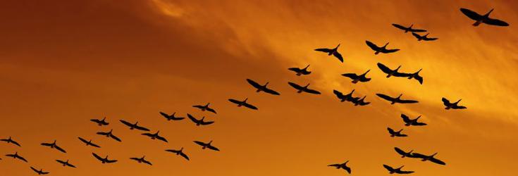 canadian-geese-corporate-culture.jpg