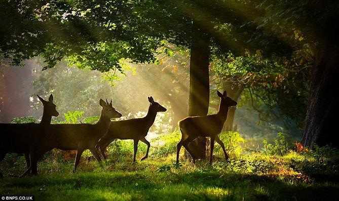 roe deer in forest of dean.jpg