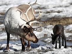 reindeer-&-calf.jpg