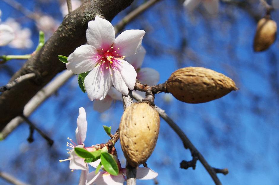 almong tree2.jpg