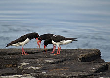 Hoy Oyster Catchers