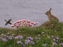 Hoy Rabbit