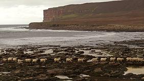 Hoy Rackwick Sheep