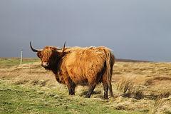 Hoy Highland Cow
