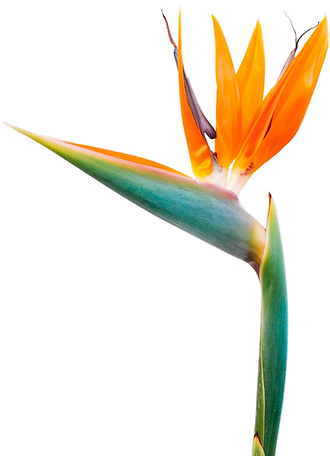 FINAL---birds-of-paradise-flower-bloom-b