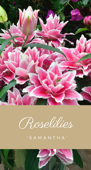 Roselilies and Calla Lilies