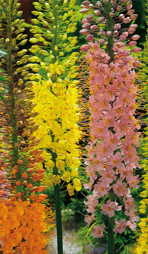 Foxtail Lilies