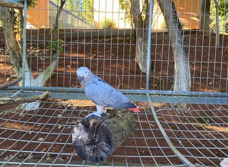 Conheça um pouco sobre a ave mais inteligente do mundo