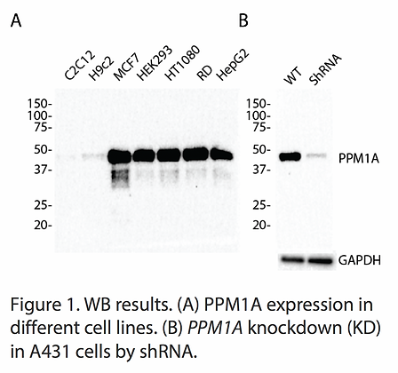 Validated PPM1A Lentiviral shRNA #V6651
