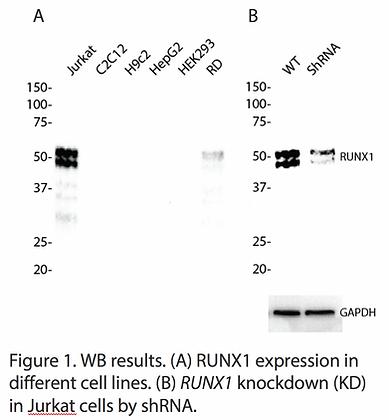 Validated RUNX1 Lentiviral shRNA #V6751