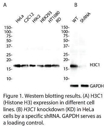 Validated H3C1 Lentiviral shRNA #V3311