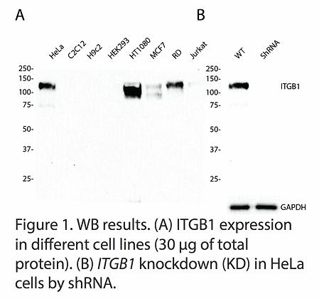 Validated ITGB1 Lentiviral shRNA #V3731