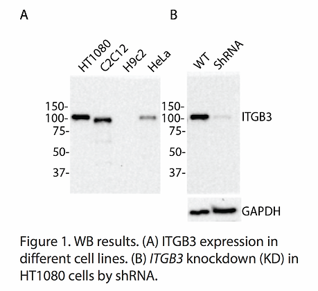 Validated ITGB3 Lentiviral shRNA #V3733