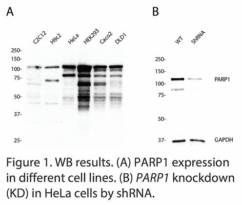 Validated PARP1 Lentiviral shRNA #V6161
